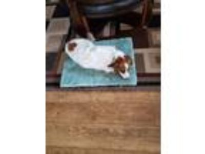 Adopt Lulu a White - with Brown or Chocolate Brittany / Border Collie / Mixed