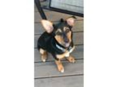 Adopt Klondike a Black - with Tan, Yellow or Fawn Miniature Pinscher / Shepherd