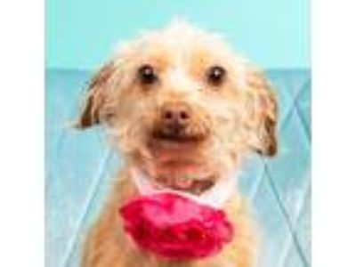 Adopt Harley a Yorkshire Terrier