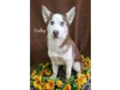 Adopt Colby a Siberian Husky, Mixed Breed