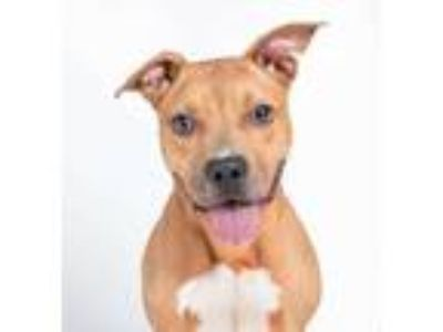 Adopt Blazer a Brown/Chocolate Mixed Breed (Large) / Mixed dog in Chamblee