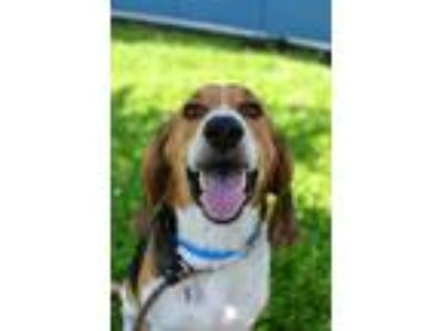 Adopt Buddy a Tan/Yellow/Fawn Hound (Unknown Type) / Mixed dog in New Orleans