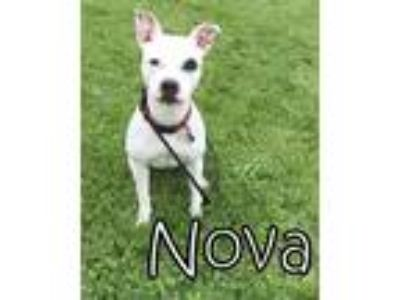 Adopt Nova a White - with Black Pit Bull Terrier / Mixed dog in Tremont
