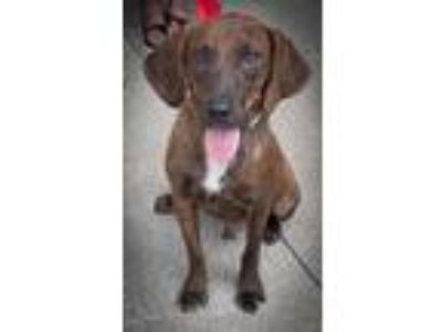 Adopt Aramis a Brindle - with White Dachshund / Mixed dog in Loudonville