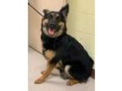 Adopt Fury a German Shepherd Dog
