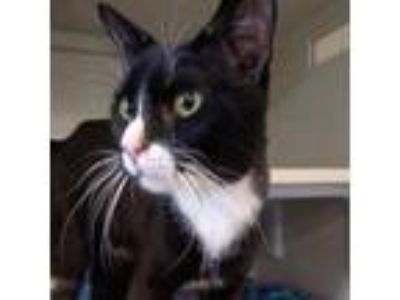 Adopt Cain - Chowhound Standale a All Black Domestic Shorthair cat in Walker