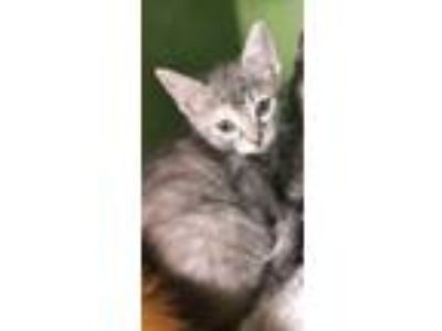 Adopt Kartey a Torbie, Domestic Short Hair
