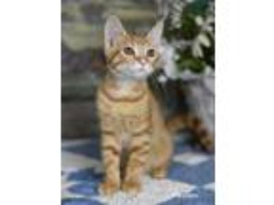 Adopt Padme a Orange or Red Tabby Domestic Shorthair / Mixed (short coat) cat in