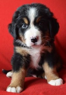 Bernese Mountain Dog PUPPY FOR SALE ADN-80408 - 2018 Litter