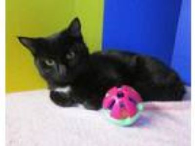 Adopt Doc a All Black Domestic Shorthair / Domestic Shorthair / Mixed (short