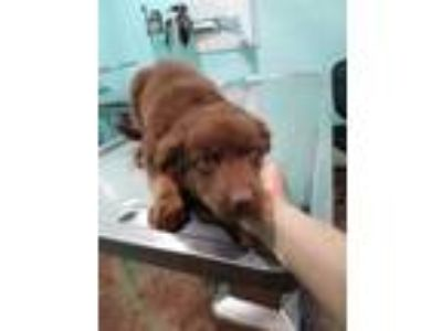 Adopt (HOLD) Sasha a Brown/Chocolate Shepherd (Unknown Type) / Retriever