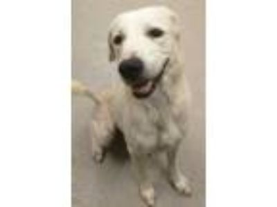 Adopt PUP a White Great Pyrenees / Mixed dog in Mesquite, TX (25561927)