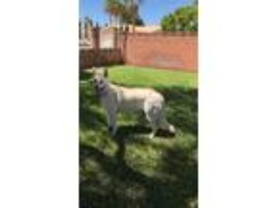 Adopt Stella a White German Shepherd Dog / Mixed dog in Mesquite, NV (25811947)
