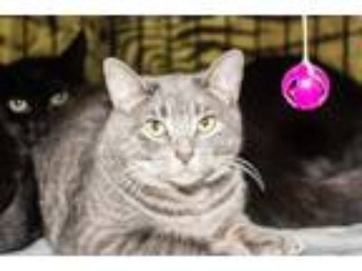Adopt Ringo a Gray or Blue (Mostly) American Shorthair (short coat) cat in