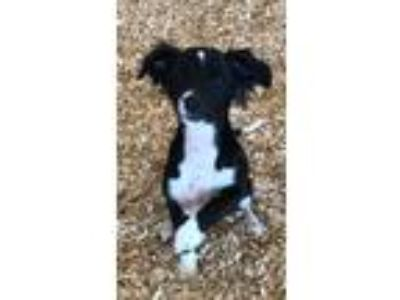 Adopt ANNIE a Black - with White Spaniel (Unknown Type) / Mixed Breed (Small) /