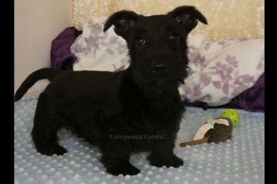 Puppy For Sale Classifieds In Bella Vista Arkansas Claz Org