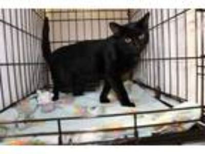 Adopt Barkley a All Black Domestic Shorthair / Domestic Shorthair / Mixed cat in