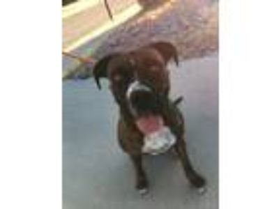 Adopt Maggie a Brindle - with White Boxer / American Pit Bull Terrier / Mixed