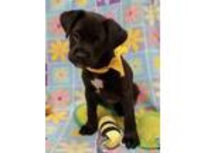 Adopt Angelo a Black Boxer / Papillon / Mixed dog in Woodstock, IL (25565153)