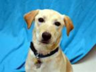 Adopt Maple a Labrador Retriever, Mixed Breed