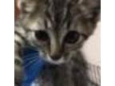 Adopt Dottie-88020 a Gray or Blue Domestic Shorthair cat in Las Cruces