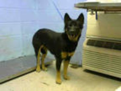 Adopt SOUR CREAM a Black - with Tan, Yellow or Fawn German Shepherd Dog / Mixed