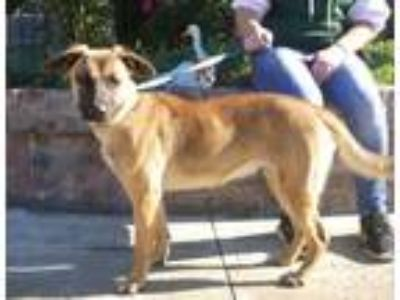 Adopt Noel a Tan/Yellow/Fawn - with Black Shepherd (Unknown Type) / Mixed dog in