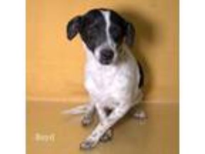 Adopt Boyd a Parson Russell Terrier, Mixed Breed
