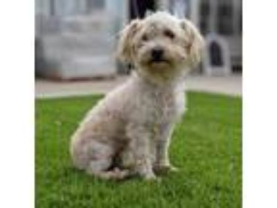 Adopt Baby Doll Suzie a White - with Tan, Yellow or Fawn Poodle (Standard) dog