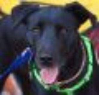 Sasha Obama Labrador Retriever - Black Labrador Retriever Dog
