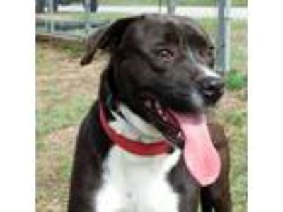 Adopt Cody *FOSTER NEEDED* a Black - with White Labrador Retriever / Pit Bull