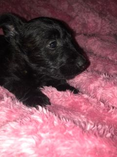 Scottish Terrier PUPPY FOR SALE ADN-102023 - Scottish terriers ckc certified