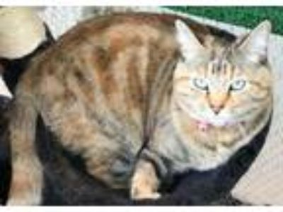Adopt (CP) Kali a Bengal, Domestic Short Hair