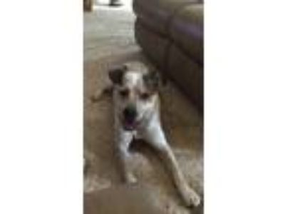 Adopt Chan a Brindle - with White Hound (Unknown Type) / Hound (Unknown Type) /