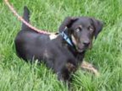 Adopt CORY a Black Labrador Retriever / Mixed dog in Maryland Heights