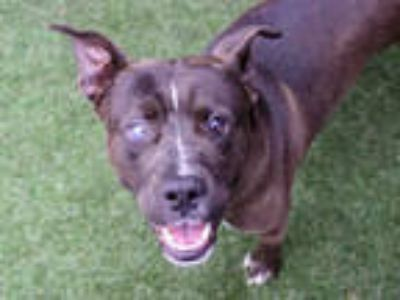 Adopt *KAVEH a Black - with White American Pit Bull Terrier / Mixed dog in