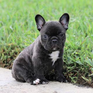 French Bulldog PUPPY FOR SALE ADN-77836 - Black Brindle Female Zoey