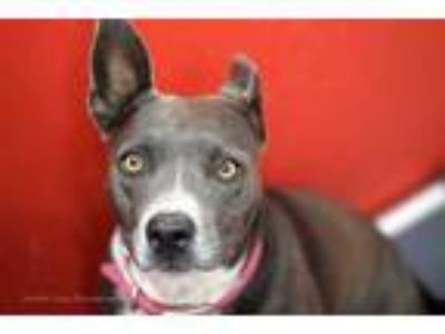 Adopt BRENDA BLUE a Brown/Chocolate American Staffordshire Terrier / Mixed dog