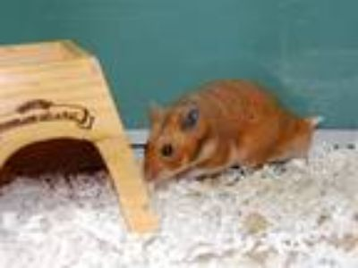 Adopt Beans a Hamster small animal in Portland, OR (25846259)