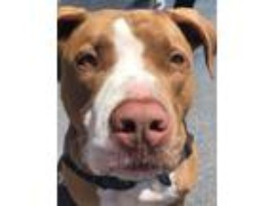 Adopt Tank a Tan/Yellow/Fawn - with White Pit Bull Terrier / Mixed dog in