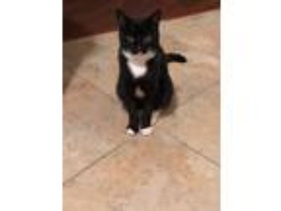 Adopt Tuxy Biloxi a Black & White or Tuxedo Domestic Shorthair cat in Campbell