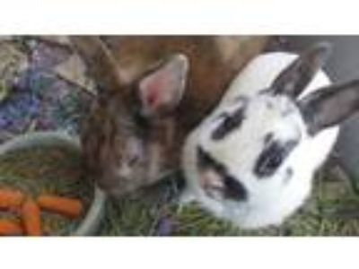 Adopt Mom and Pop Bunnies a Other/Unknown / Mixed rabbit in Homer Glen