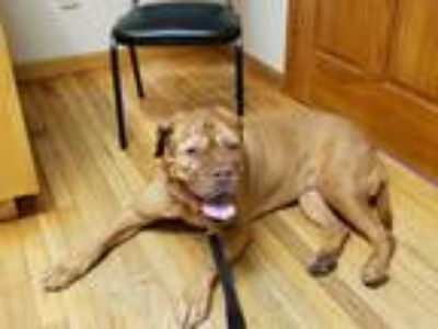 Adopt Penny a Red/Golden/Orange/Chestnut Dogue de Bordeaux / Mixed dog in