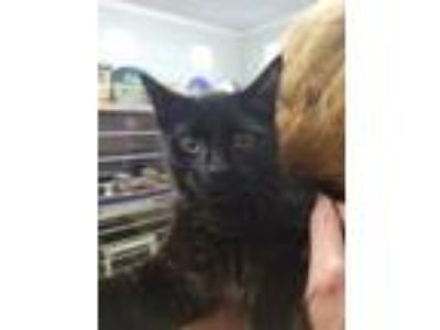 Adopt Chase a Black (Mostly) Domestic Shorthair (short coat) cat in Madison