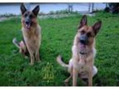 Adopt Cody a Brown/Chocolate German Shepherd Dog / Mixed dog in Rochester