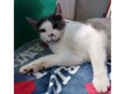 Adopt Cow 4 month kitten a American Shorthair