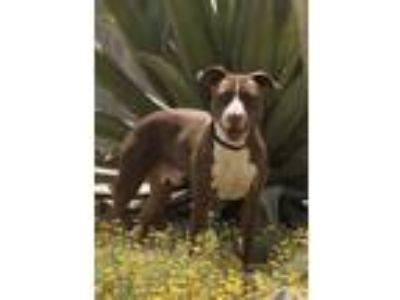 Adopt Smokey a Brown/Chocolate American Pit Bull Terrier / Mixed dog in Palm