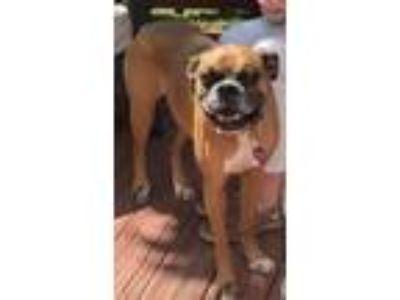 Adopt Roxy a Tan/Yellow/Fawn - with Black Boxer dog in Alexandria, VA (25636993)