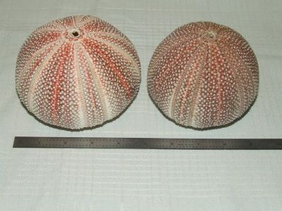 Giant Red Sea Urchin Shell Beautiful Nautical Decor 4 & 4 1/8