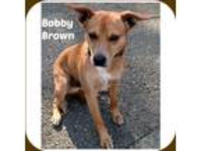 Adopt BOBBY BROWN a Tan/Yellow/Fawn - with White Rat Terrier / Dachshund / Mixed